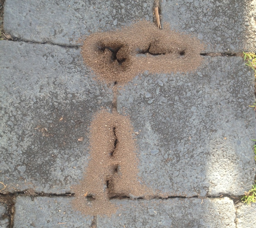 Big- headed ants digging up dirt under driveway pavers