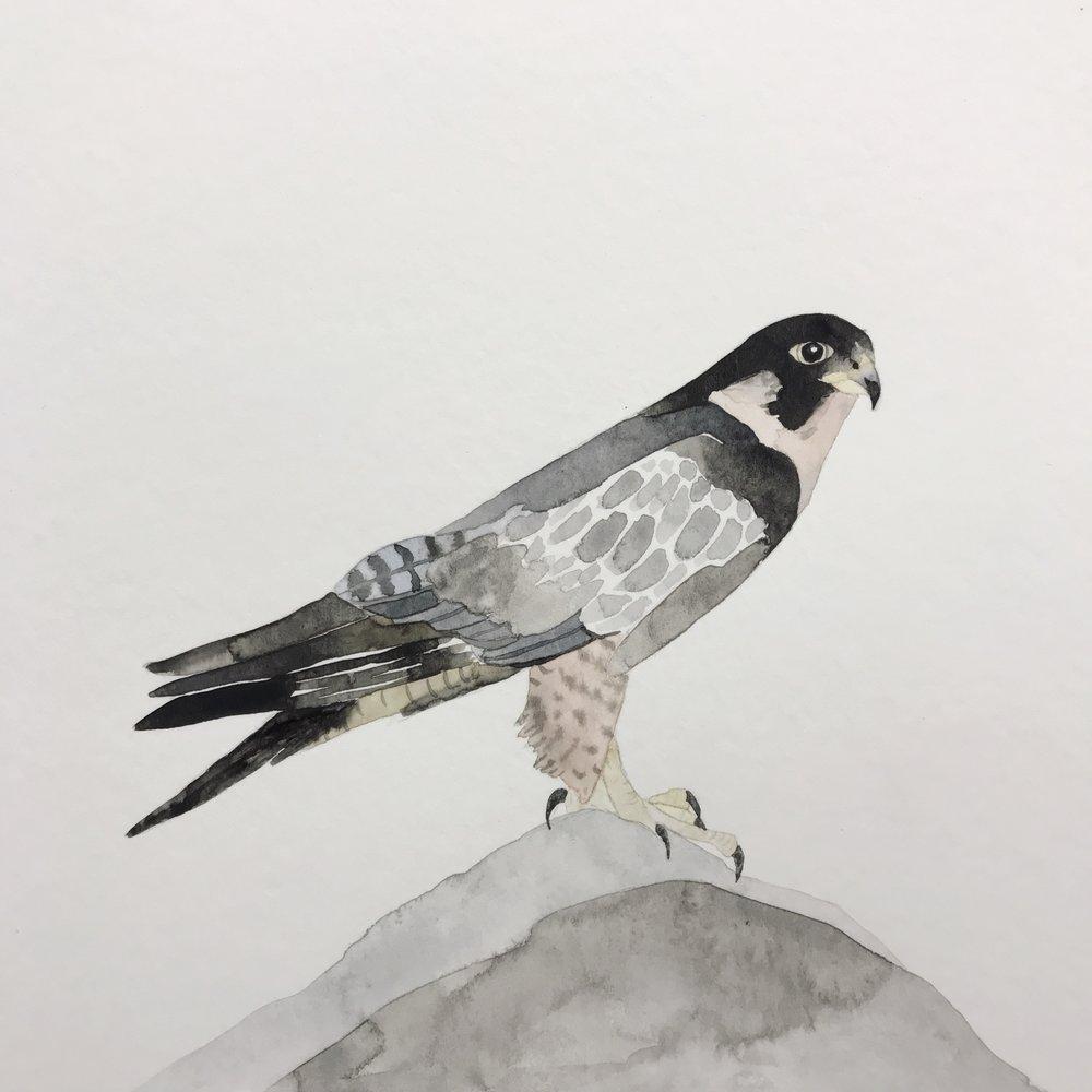 Peregrine Falcon by Lindsay McDonagh