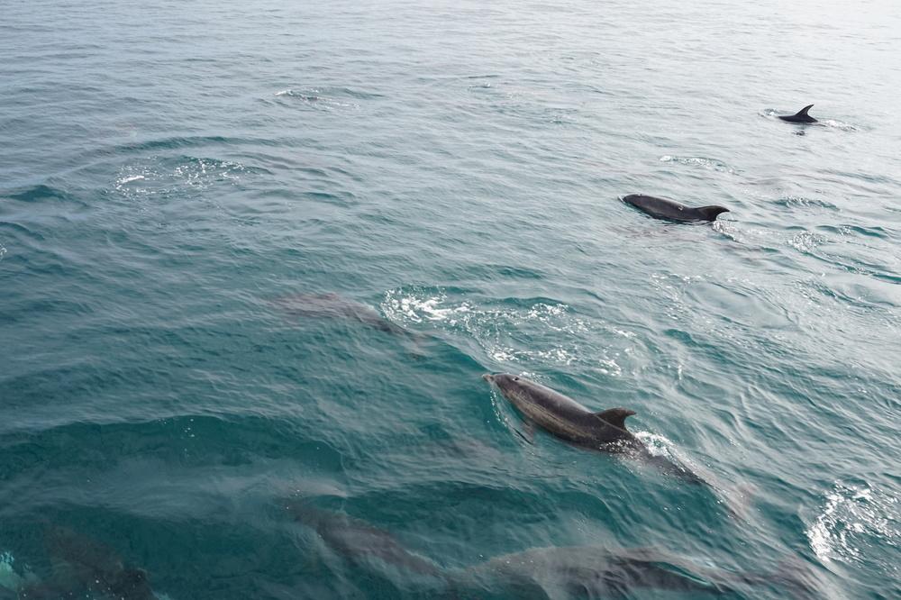 Delfinerutanför Paihia.