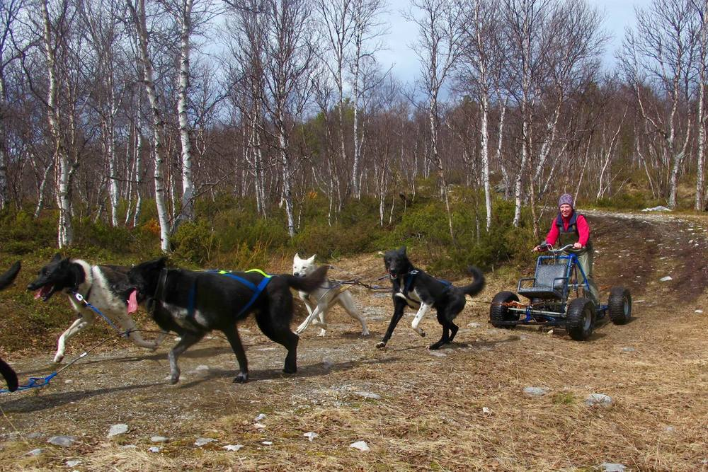 Alaskan_husky_røros_norge_norway_tour_cart_ride_exciting_adrenalin_fall_summer_mountains_wilderness
