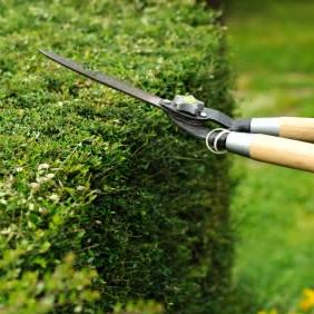 hedge_pruning.jpg