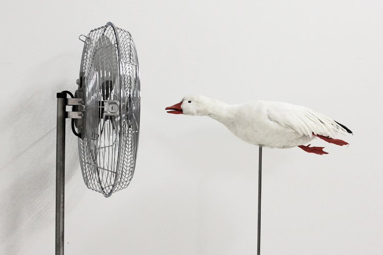 2010 Snow goose taxidermy, stainless steel and fan H:68 x W:42x D:12 in. This limited edition art work features a taxidermy duck mounted in a diving position and facing a custom-designed industrial fan. When the machine's propeller is turned on, the animal's small white feathers shiver from the resulting gust of wind. For a few seconds, the viewer fears that the duck's delicate feathers are going to fly off completely. The duck's continuous silent resistance steals a smile and reminds the viewer that ducks fly against the wind everyday.