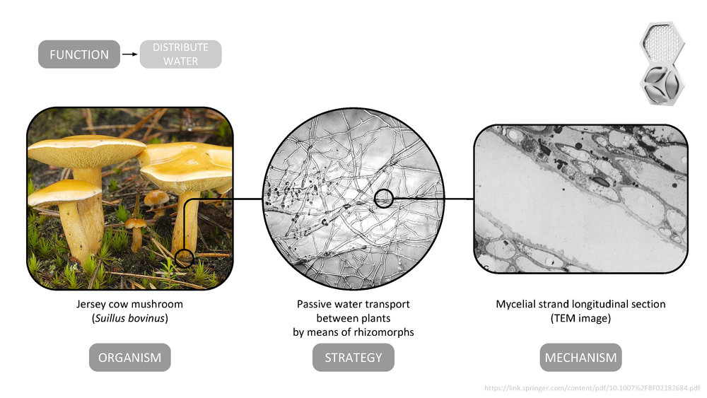 The design of the water distribution strategy in the AquaWeb system mimics the apoplastic water pathway seen in the rhizomorph cells of the Jersey cow mushroom ( Suillus bovinus ) by integrating water flow channels into the walls of the modular units.