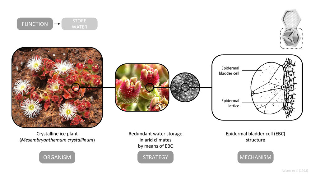 The AquaWeb's decentralized storage strategy is inspired by the epidermal bladder cells of the crystalline ice plant ( Mesembryanthemum crystallinum ) .    The bladder cell network is an excellent example of distributed water storage that builds resiliency into the system through redundancy.