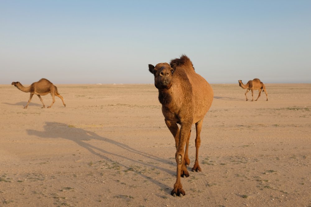 Camels near the Sabah Al-Ahmed Nature Reserve,  Kuwait.