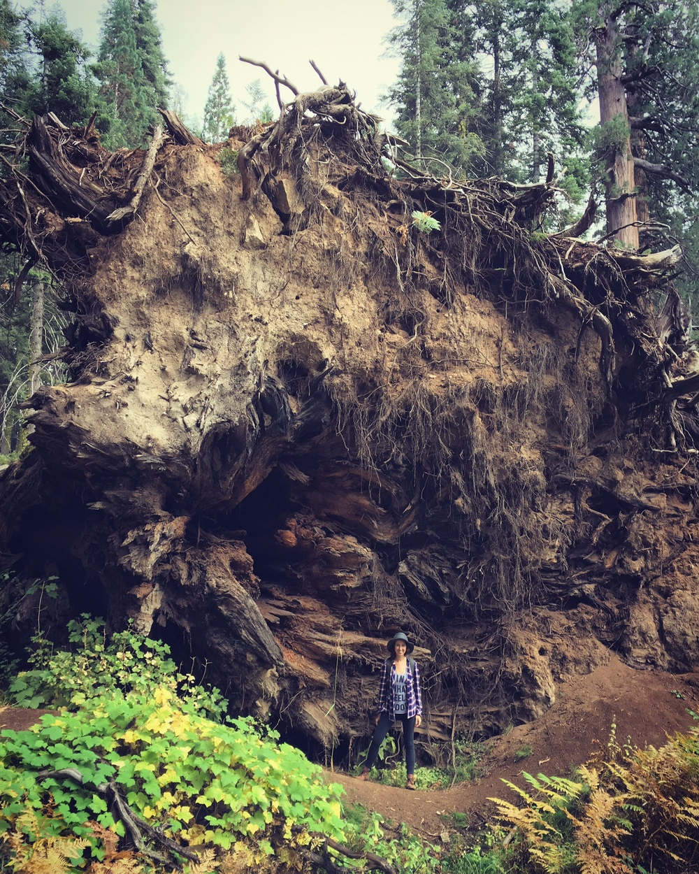 Standing at the root of a Sequoia tree