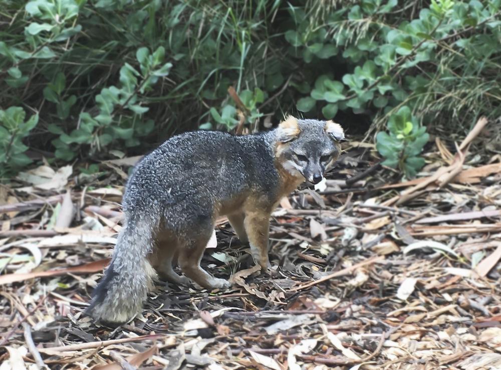 Endangered Island Fox