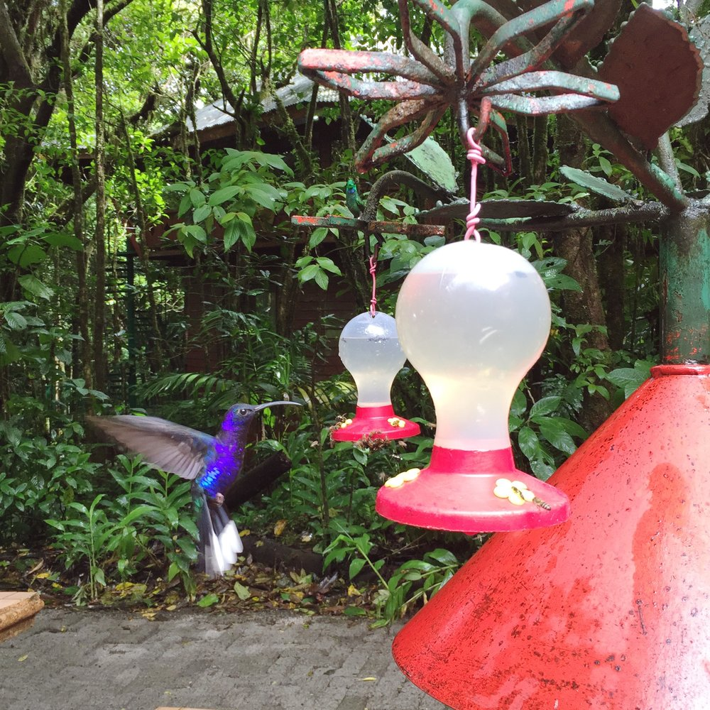 The Violet sabrewing, largest hummingbird outside of South America