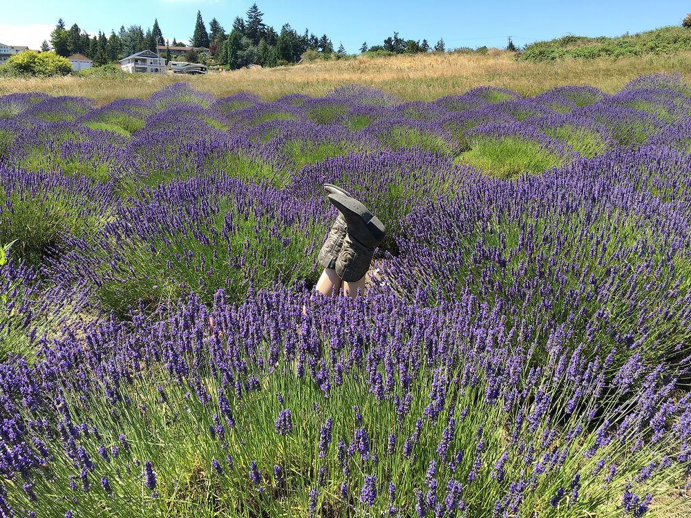 The lavendar farms of Sequim, Washington