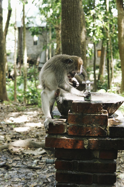 chrissihernandez-bali-ubud-monkeyForest (43)copy.jpg