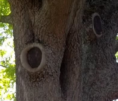 Figure 2: Tree hollows
