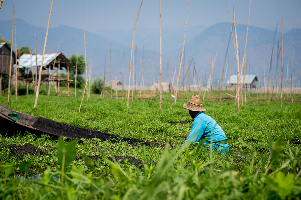 Tending a floating garden. Inle Lake, Myanmar