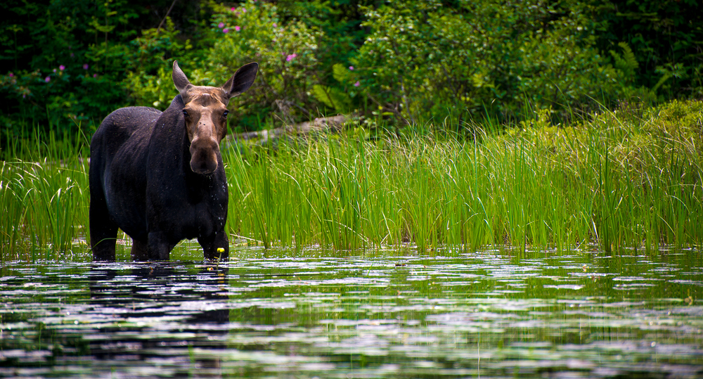 Moose feeding on Cross Bay Lake