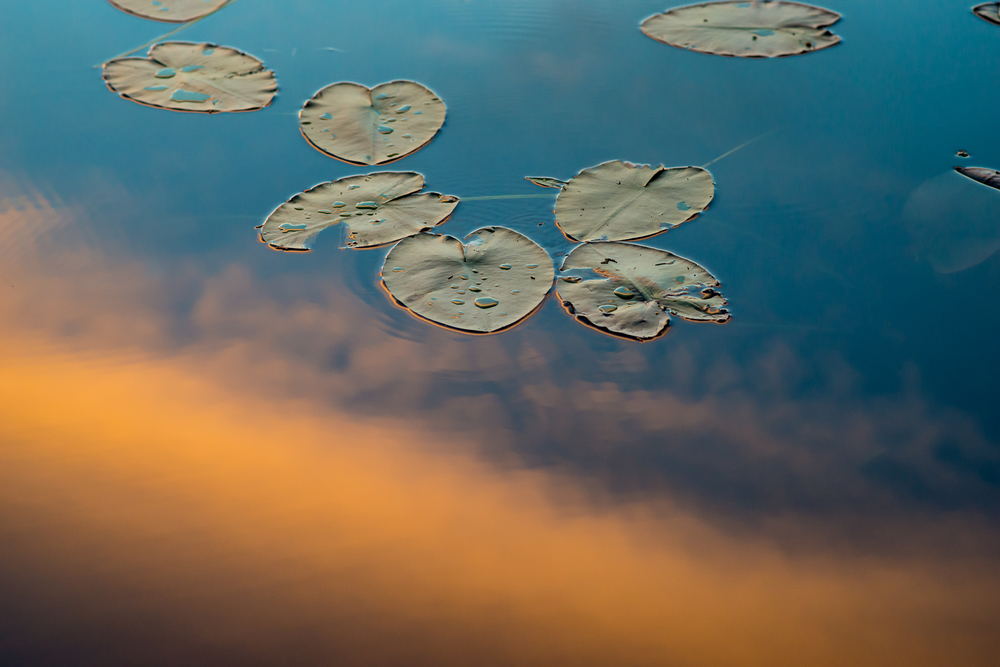 Lilly pads in the sunset. Last night on Cross Bay Lake