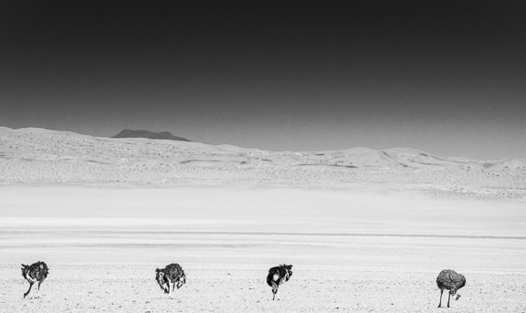 Ostriches in the desert...In A Black and White kind of mood today
