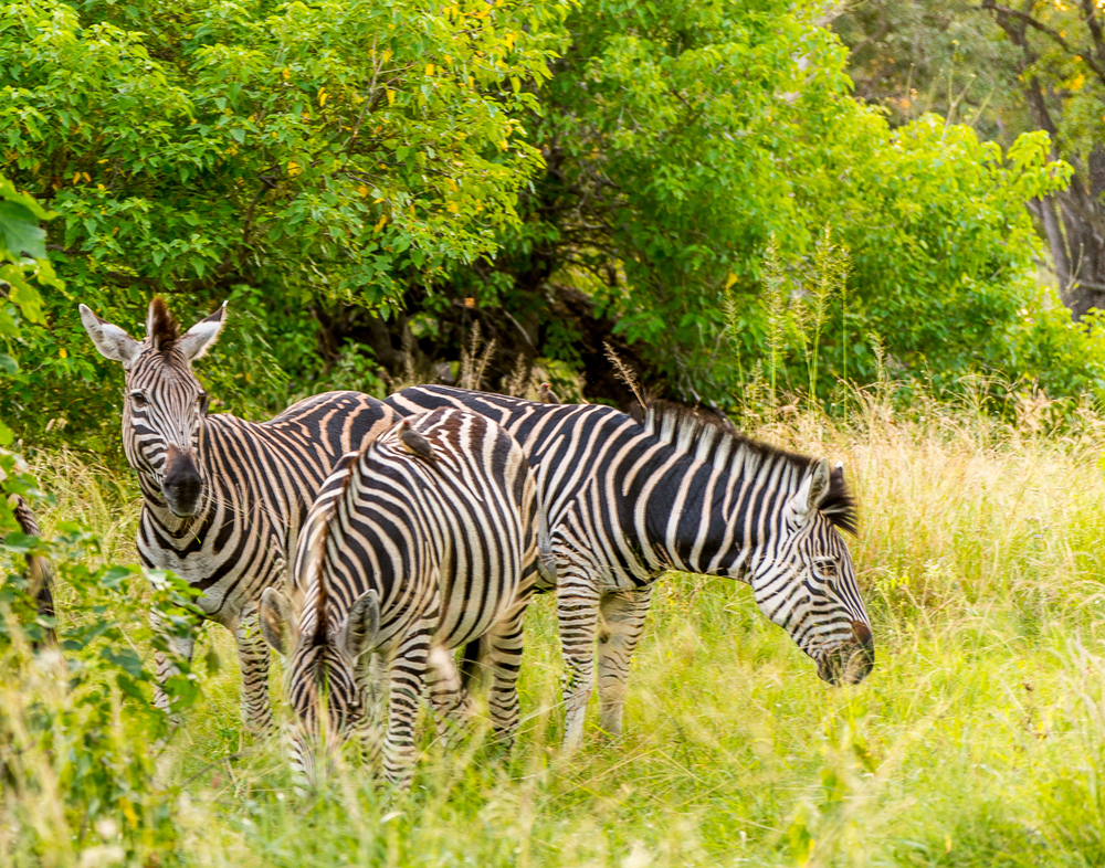 Zebra. The National animal of Botswana