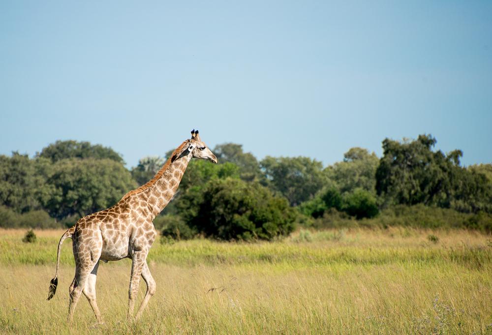 It's a giraffe!!