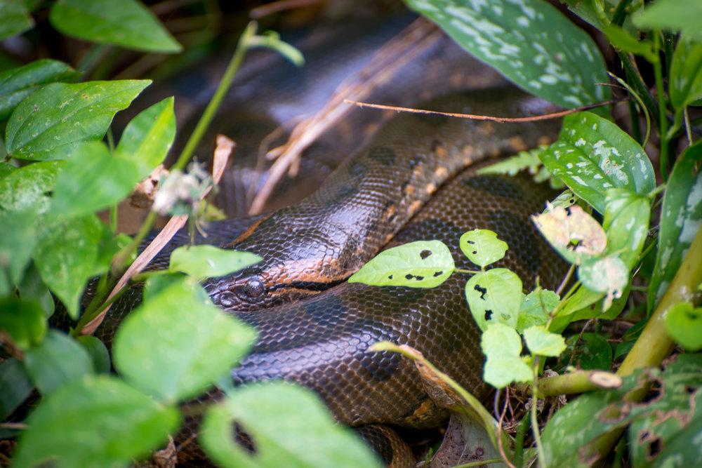 Green Anaconda...