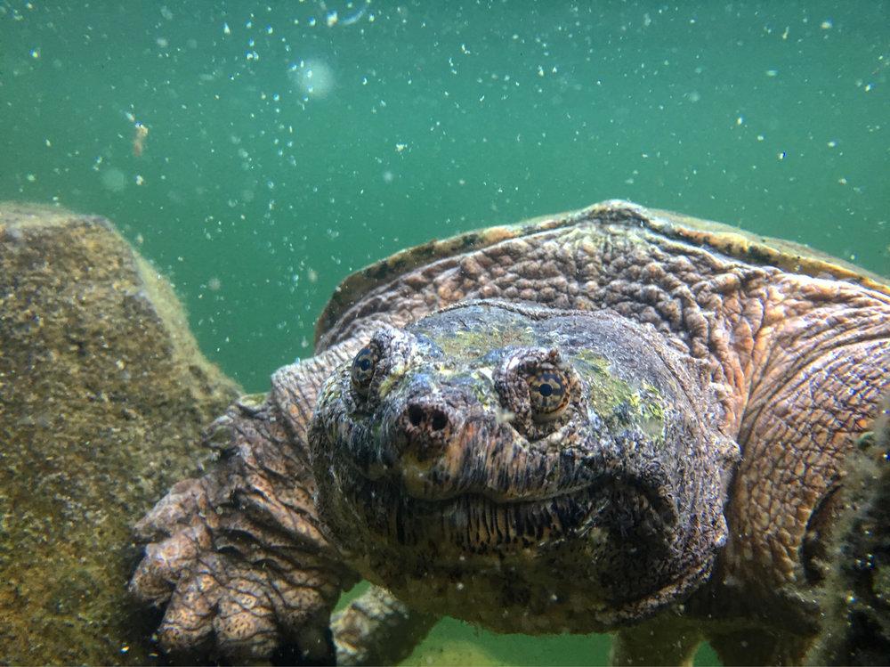 Underwater Turtle...