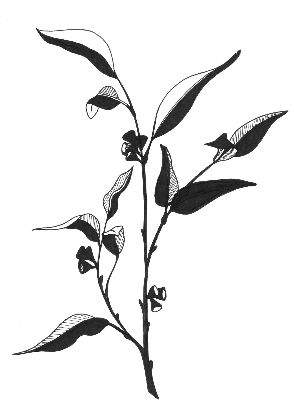eucalyptus branch (5-7 ratio).png