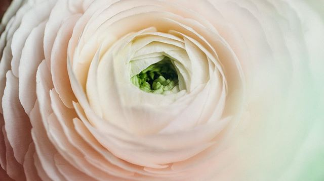 Pale pink ranunculus perfection.