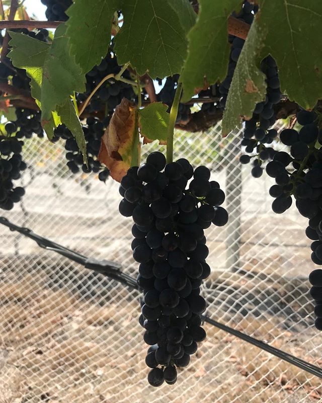 Gearing up for the last pick of #V19 #Ballarat #Shiraz #wine