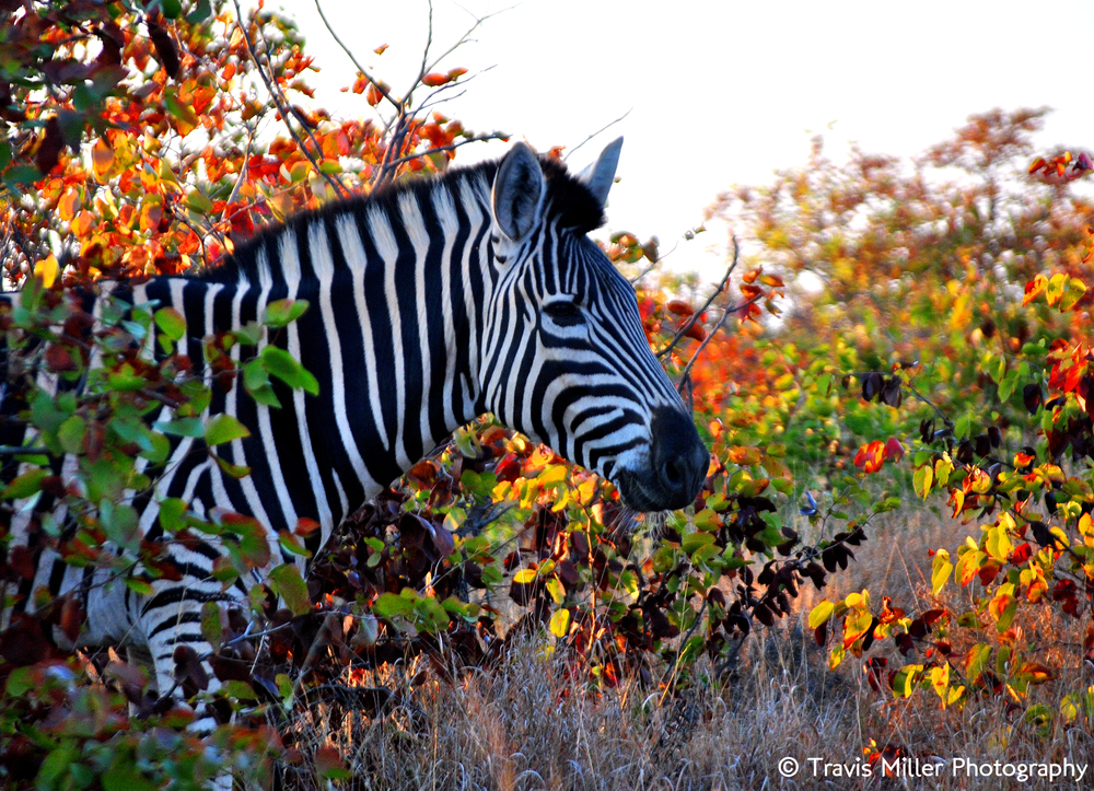 Black and White, with a Touch of Color /  Kruger National Park, South Africa