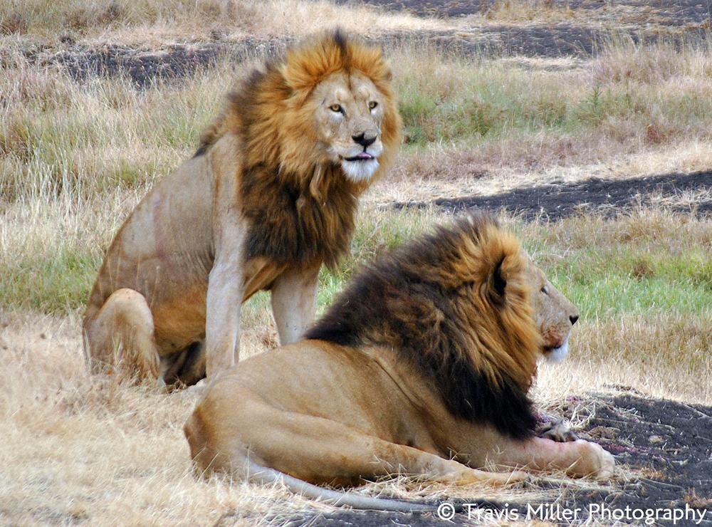 King(s) of the Jungle /  Ngorongoro Crater, Tanzania
