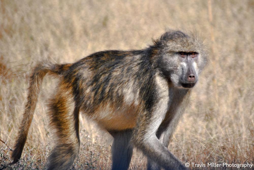 Shifty-eyed /  Kruger National Park, South Afrca