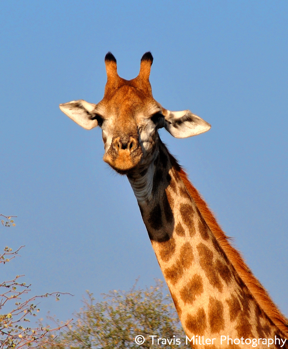 Why the Long Face? /  Kruger National Park, South Africa