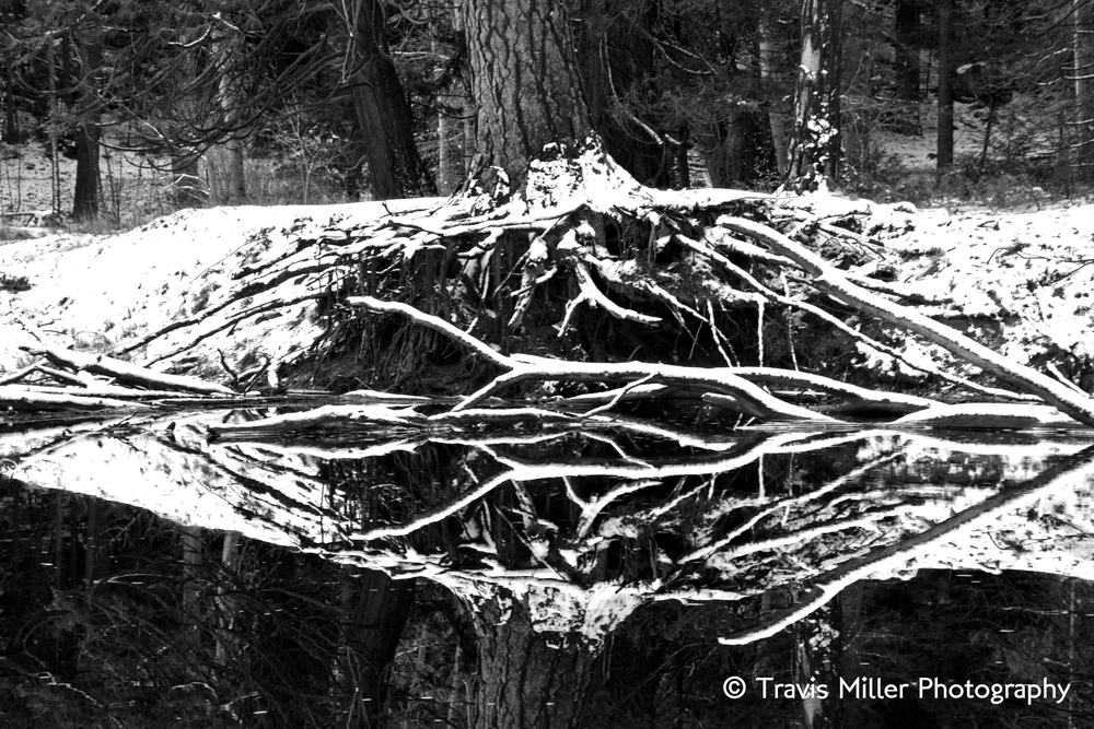 Cold Down to the Roots /    Yosemite Valley, CA