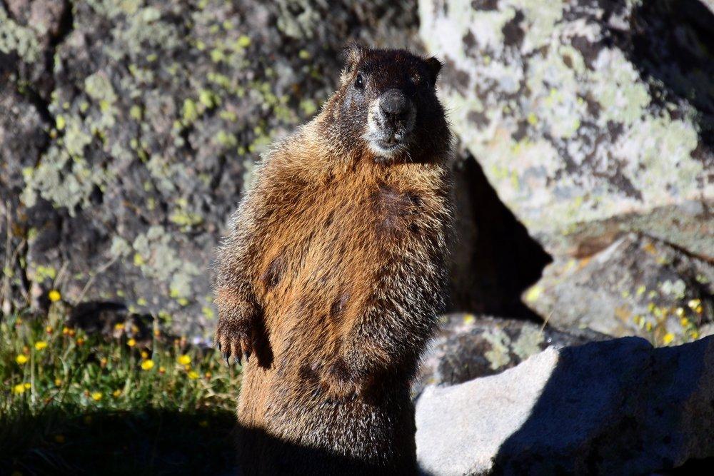 03 Marmot 1.jpg