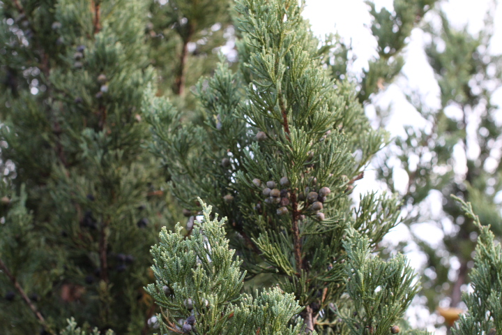 Juniperus chinensis 'Blue Point' — IYE PROJECT