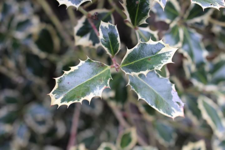 Ilex aquifolium 'Variegata'