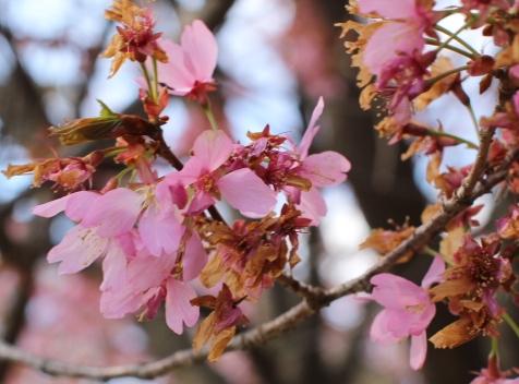 Prunus 'Dream Catcher'
