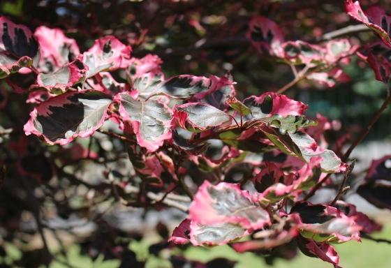 Fagus sylvatica 'Tricolor'