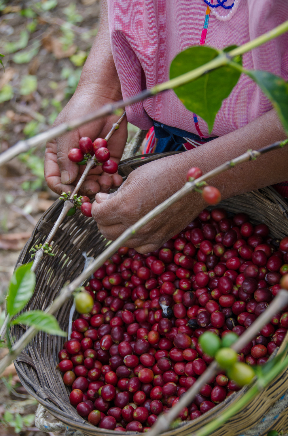 Cosecha manual selectiva de cerezo de café