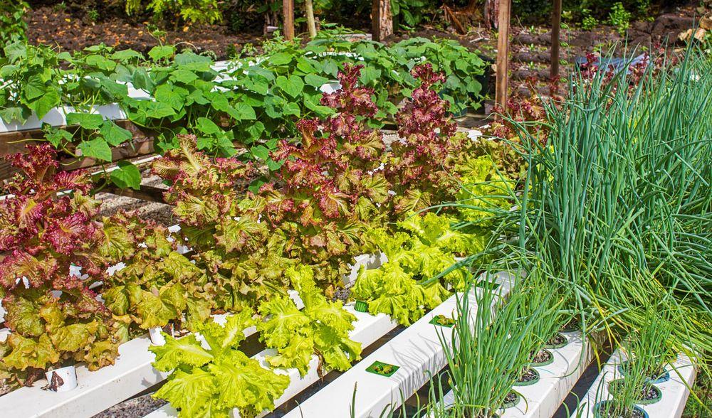 Aganoa Lodge Samoa Onsite Organic Garden.jpg