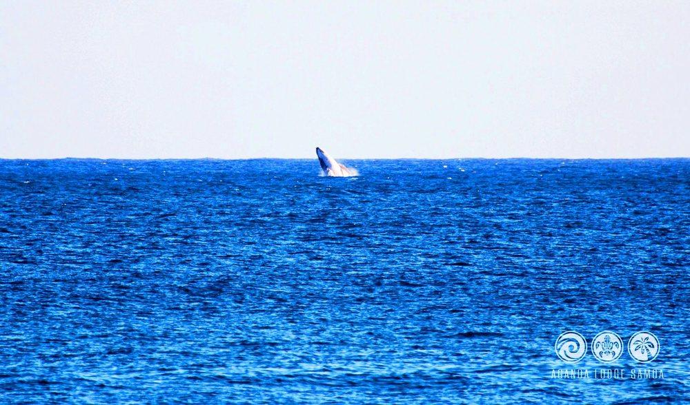 Savai'i samoa whale eco excursions family vacation