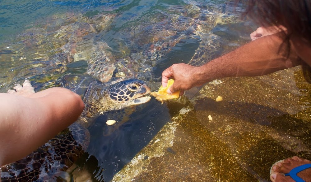 Tickling the turtles.
