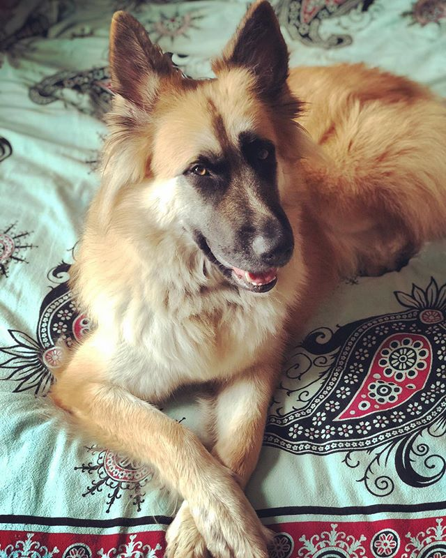 Thank you for rescuing me! #rescuedogsofinstagram #rescuedogs #germanshepherd #princess #butterwouldntmelt