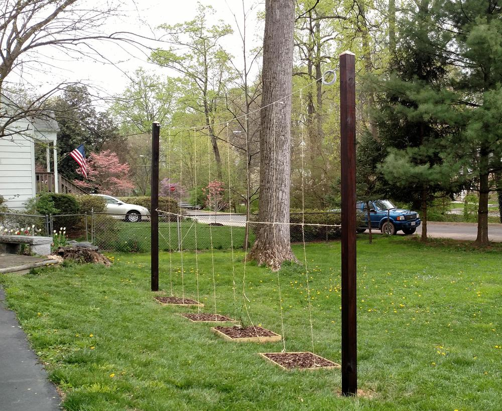 Attractive Hop Trellis Ideas Part - 7: In Order To Accomplish The Goals Of Vertical Growth And Sun, He Had To  Build A Hops Trellis In The Yard.