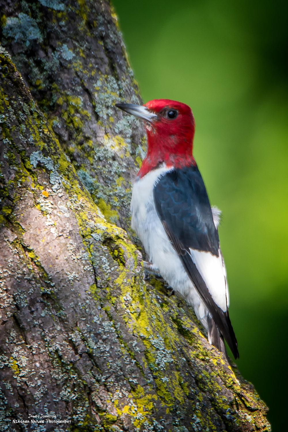 Redheaded Woodpecker