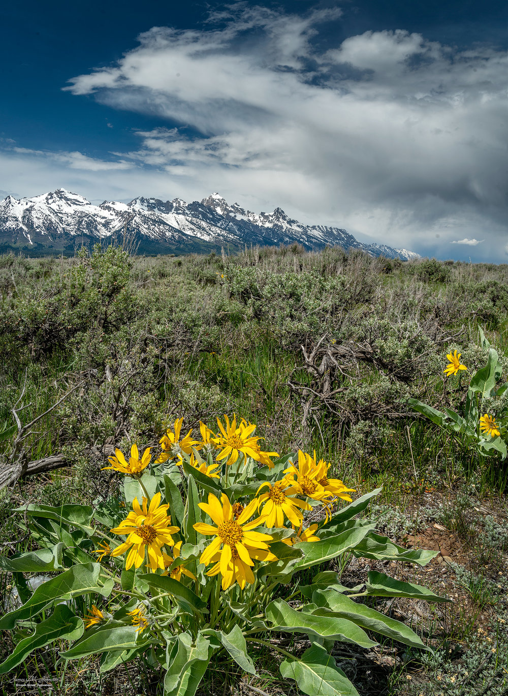Balsamroot In Bloom