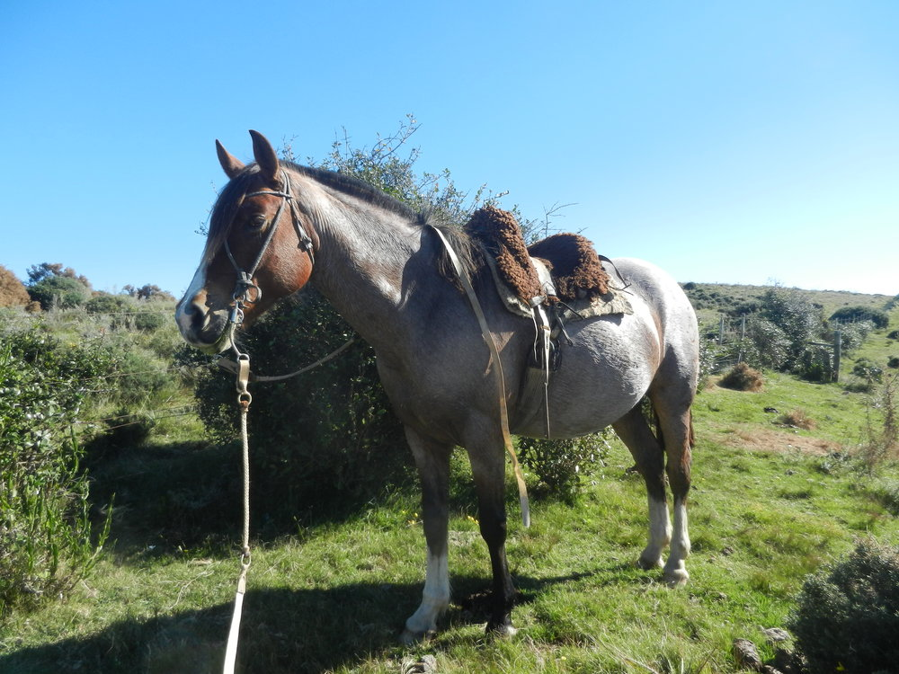 Chito is a zippy little roan working for us in Uruguay. Great at herding cattle and sheep, he has also done some barrel racing and can turn in a flash.