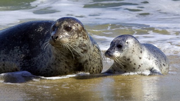LARGE mother and baby seals_lead_r620x349.jpg