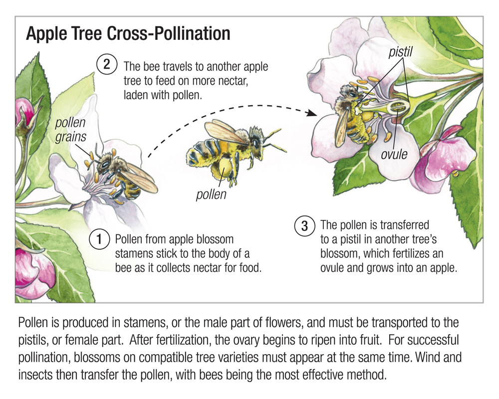 Apple Tree Cross-Pollination