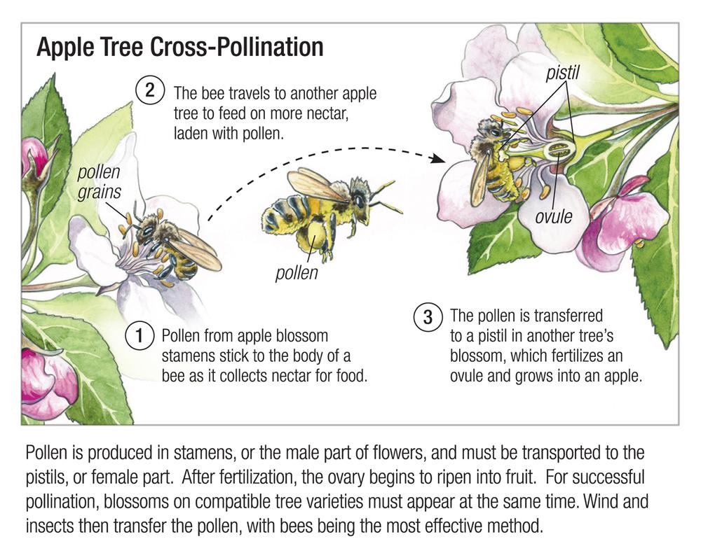 Apple Tree Cross-Pollination
