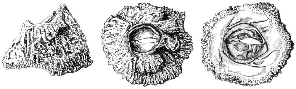 Barnacle Shell