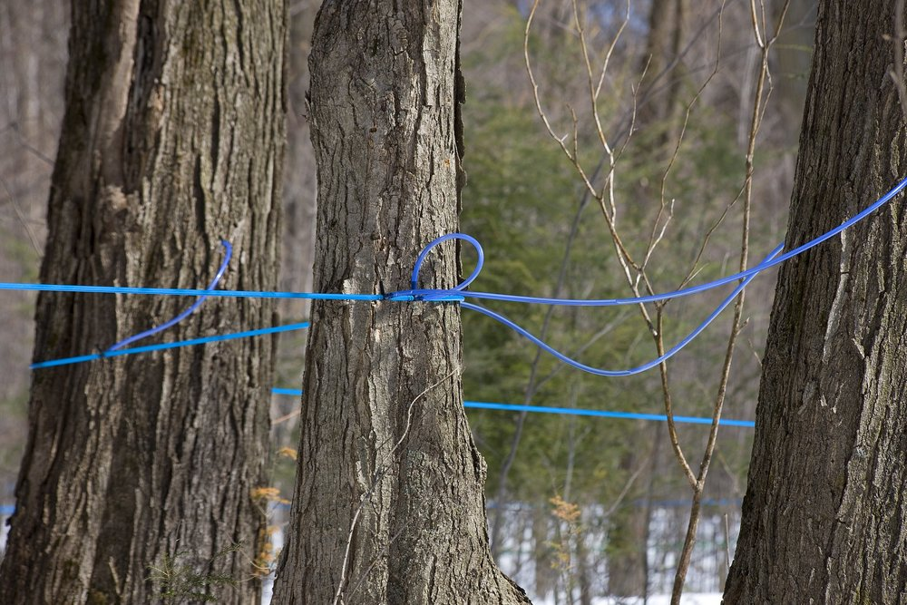 Sand_Road_Maple_Sugar_Farm_Sap_Lines_(13790181664).jpg